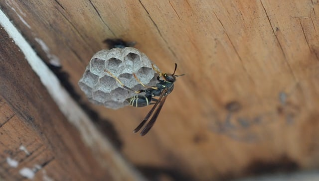 How to Kill Wasps Nests in Walls and Roof Spaces